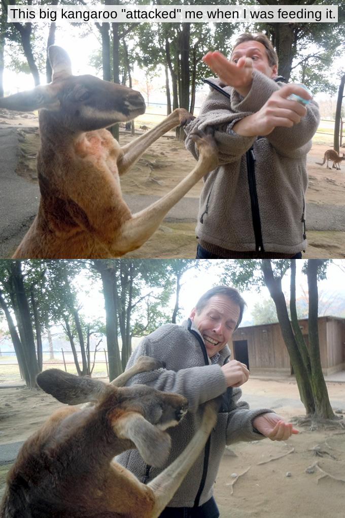 Kangaroo attack!